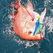 The red snapper are so easy to catch that they'll even hit a cobia jig without any natural bait.