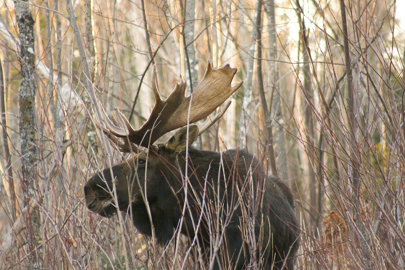 Vermont s 2013 moose auction open for bids outdoorhub for Vt fishing license
