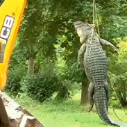 Residents of Jacksonville, North Carolina are being told to keep children and pets away from suspected alligator haunts after this monster ate an 80-pound husky.