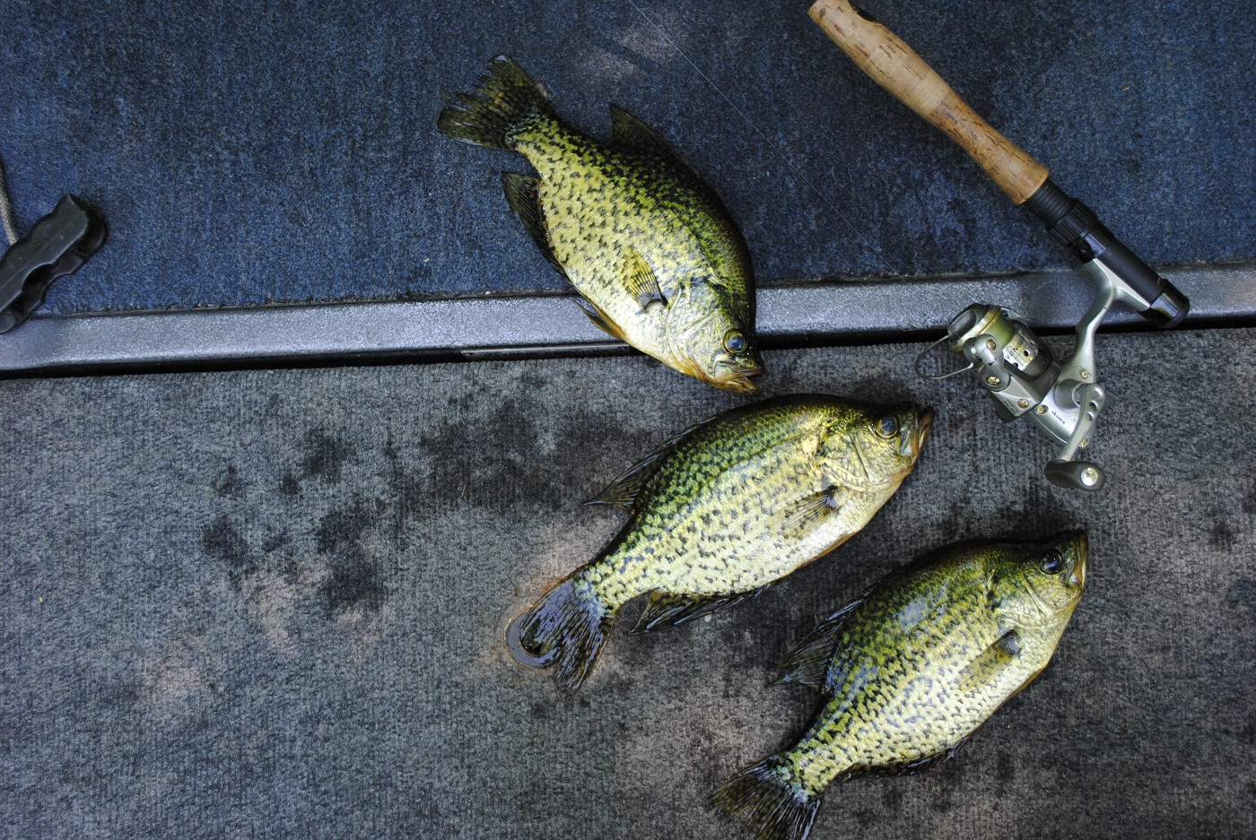 Michigan crappie make for great summertime fishing for Hardiest pond fish