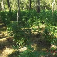 Hunters who come across marijuana farms in the wild are advised to immediately leave and call authorities.