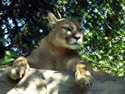 Mountain lions can be dangerous if provoked, and playing dead will not fool these large cats.