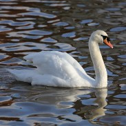 Michigan has one of the largest populations of mute swans in the United States.