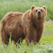 A kodiak bear is alerted by something interesting, possibly a photographer.