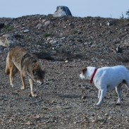 Here a coyote faces off against a dog of similar size. Coyotes have been known to eat small pets.