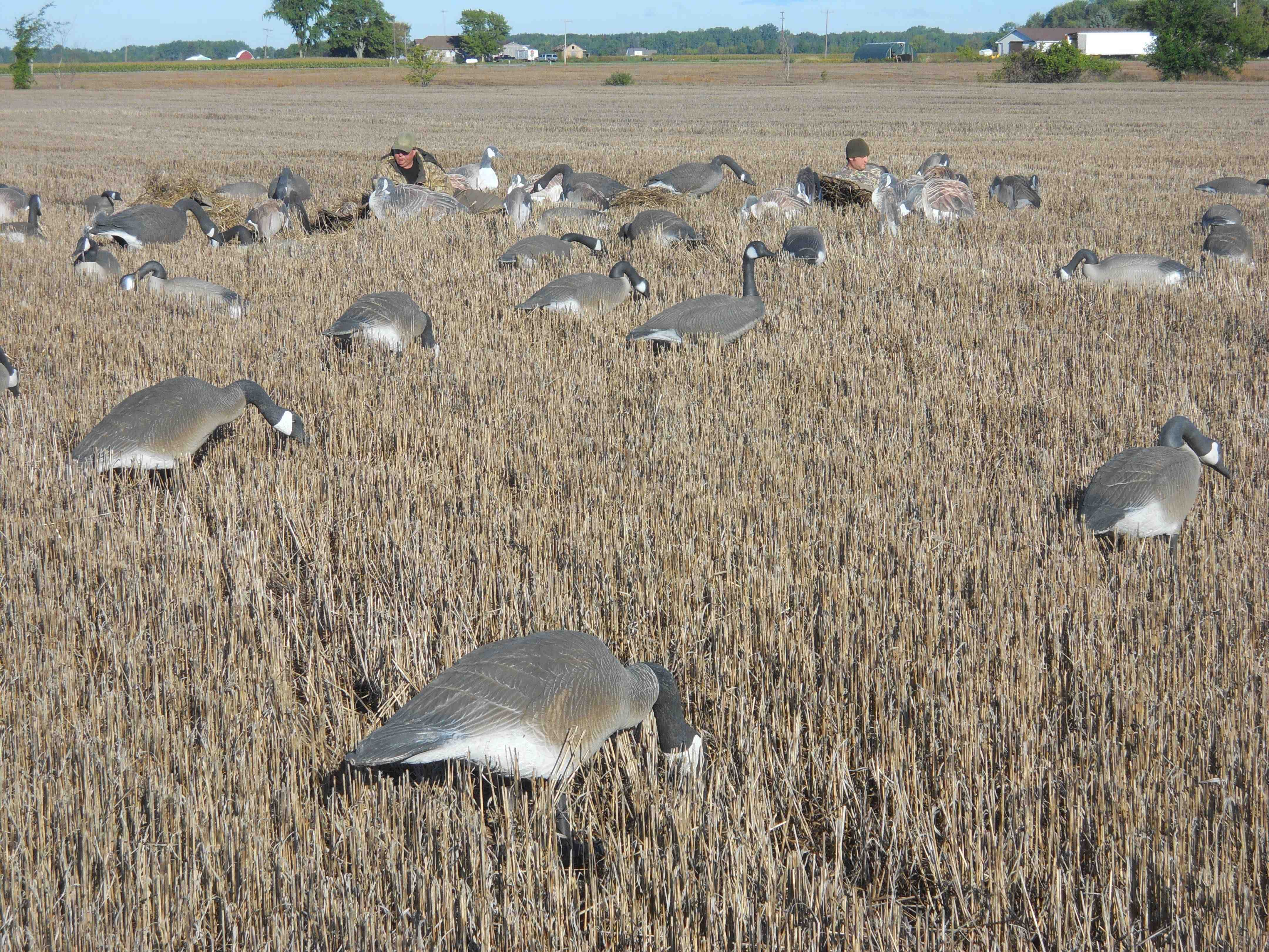 Strategies For Success In Michigan S Early Goose Season
