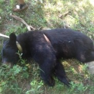 Black bears rarely attack humans, but livestock and pets are much more vulnerable.