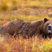 Bears are powerful creatures and best avoided in the wild.