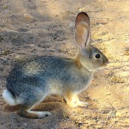 A California Desert Cottontail on alert, possibly after spotting the cameraman.