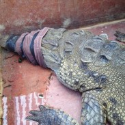 While crocodiles can pose a danger to humans, all it takes is some tape and a towel to render them harmless.
