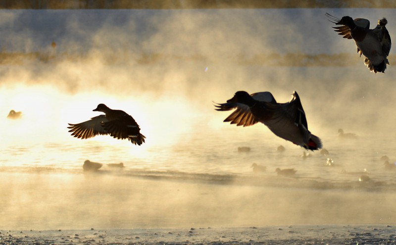 Although duck numbers remain strong, hunting opportunities still depend on local weather, food, and habitat availability.