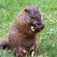 Experts say that it is likely the groundhog population in the United States is much higher than it was at the time European settlers first arrived in North America.