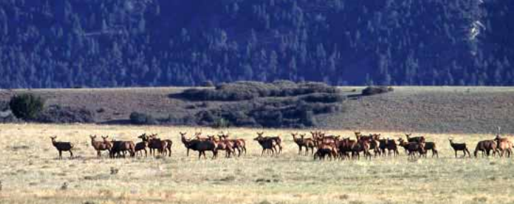 Rocky Mountain elk returned to New Mexico after extensive restoration efforts between the years of 1910 and 1966. Now these animals may face another threat.