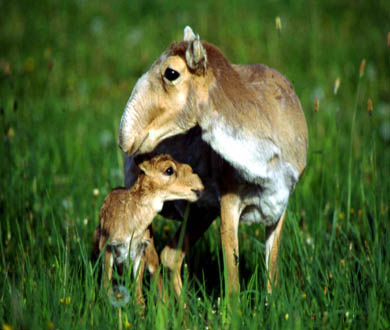 The saiga antelope is beginning to bounce back after a tumultuous period that saw its population decline by more than 90 percent.