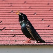 A common starling. Introduced to the United States from Europe, they compete with native birds and do crop damage.