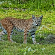 At a distance, bobcats may be mistaken for juveniles of a bigger feline species. Up close, however, the differences are obvious.