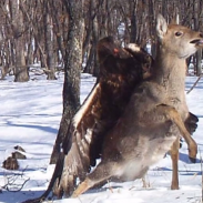 This Golden Eagle has a firm grip on its prey. Researchers later found the deer's carcass nearby.