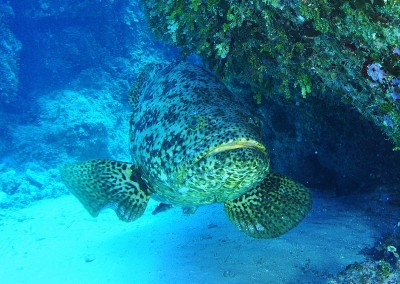 The goliath grouper is more fragile than it looks.  Its bones are not strong enough to bear its mass outside of water and the fish will sustain internal injuries if handled incorrectly.