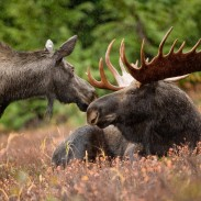 Minnesota's moose population is in dire straits after falling 52 percent since 2010.