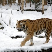The Siberian tiger, also known as the Amur tiger, is the largest living cat.