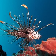 As if lionfish did not have enough weapons at their disposal, researchers now believe they are invisible to their prey.