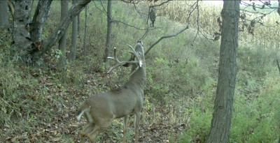 This buck was caught checking out a scrape with a Scrape-Dripper during shooting hours. This is what we all want to see!