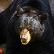Although female black bears are generally smaller than their male counterparts, they can be very protective of their cubs.