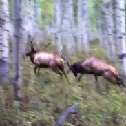 bull elk fight