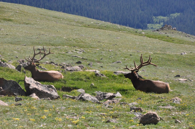 As of this article's publication, author Hunter Worth has set out on his hunt for a bull elk at the NRA Whittington Center. Seen here are elk in Rocky Mountain National Park.