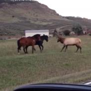 horses and elk