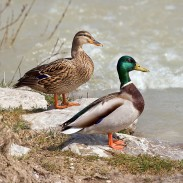 A recent outbreak of Avian botulism has killed more than 600 Mallards in Idaho.