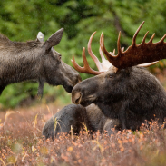 Minnesota's moose are struggling after years of decline and scientists are trying to figure out why healthy adults are dying in the summer.