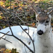Piebald deer range from being spotted to nearly completely white, but are genetically different from the even rarer albino deer.