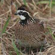 Chapter will use funds to improve for public land improvement, increasing wild quail.