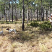 Classic Georgia quail hunting at its best at Southern Woods Plantation. The dogs make the show.