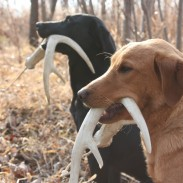 Jeremy Moore of Dog Bone Hunter promotes training for shed hunting and deer recovery. Today we step back to 10 dog-training basics to keep us on track with any dog.