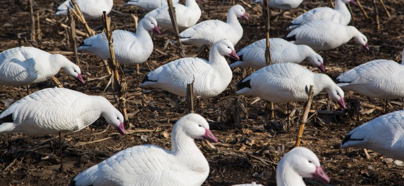 New Final Approach Express Foam Snow Goose Decoys Offer Incredible Realism In A Collapsible