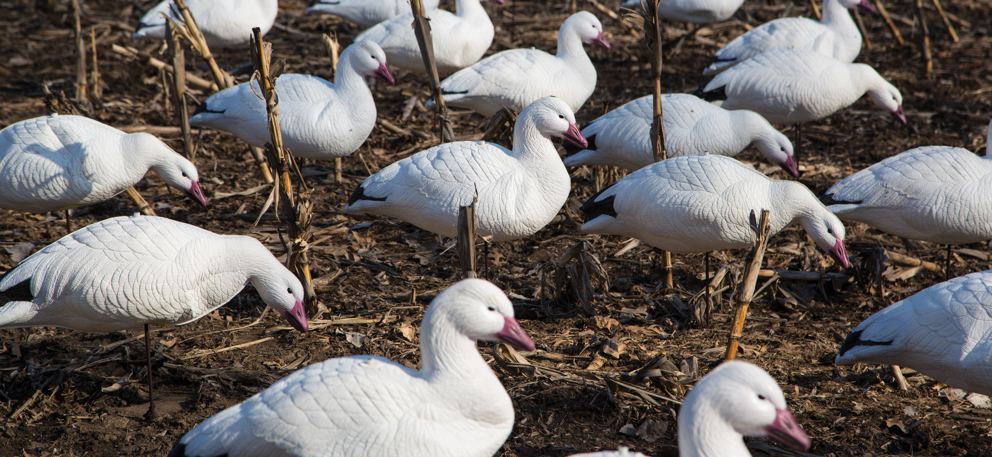 New final approach express foam snow goose decoys offer incredible realism in a collapsible for Wisconsin exterior goose season