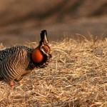 The Missouri Prairie Chicken will benefit from a Natural Resources Damage Assessment settlement.