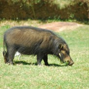 Giant forest hogs are only dwarfed by domestic pigs and some boar sub-species.