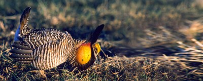 Kansas harbors highest prairie chicken population in world.