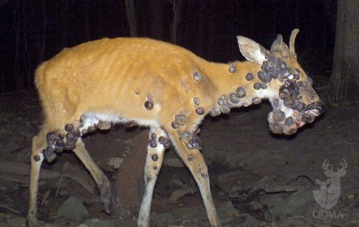 Cutaneous fibromas is not a pretty sight. The warts caused by the virus are generally gray or black in color and can grow anywhere on a deer.