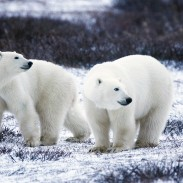 Conservation officers were called in to oust a number of polar bears from the northern Canadian town of Churchill.