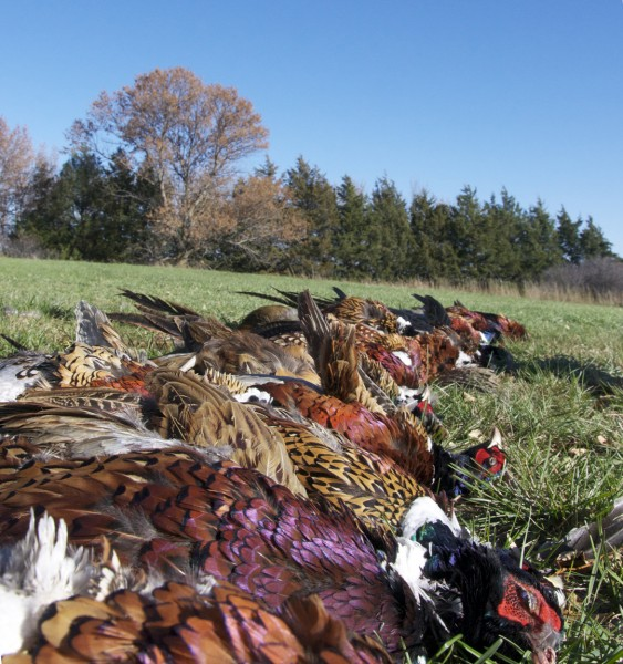 One of the yields from the author's recent rip to a South Dakota pheasant hunting heaven.