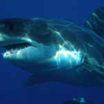 Scientists recently noted the first documented case of a cancerous tumor in sharks.