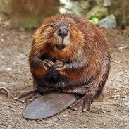 A population of newly relocated beavers now await building materials, courtesy of conservationists.