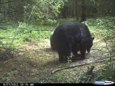 A huge bear like this weighing in excess of 500 pounds is probably at least 12 to 15 years old. Bigger bears like this do not show themselves in the daylight often except in remote areas. Image courtesy Bernie Barringer.