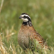 The National Bobwhite Conservation Initiative is a unified effort by 25 state fish and wildlife agencies, various conservation organizations, and research institution partners that seek to restore wild quail in the United States.