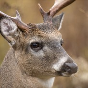 Whitetails do not have great visual acuity, but they have a tremendous field of view. They will often stop at the edge of an opening and carefully examine the entire area before stepping out. Image copyright iStockPhoto/EEI_Tony.