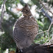 There's still time to hunt ruffed grouse in Utah. The season runs until Dec. 31.